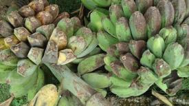Saba_bananas