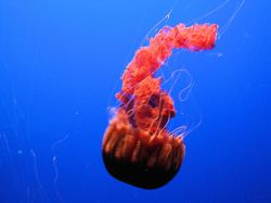 jelly fish picture