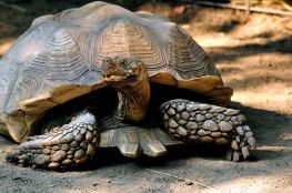 800px-African_spurred_Tortoise_(geochelone_sulcata)