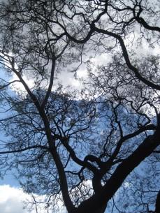 almost-bare-jacaranda-tree