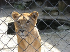 lioness-3208_960_720
