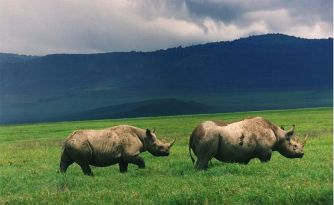800px-black_rhinos_in_crater