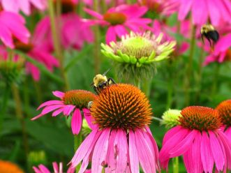 800px-bumble-bees-purple-cone-flowers_forestwander