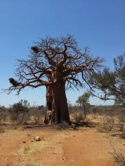 baobab-577761_960_720